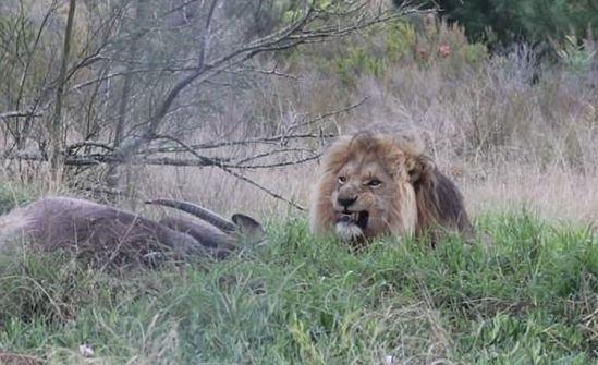 """Se hizo el """"vivo"""" con los leones y sólo encontraron su cabeza"""