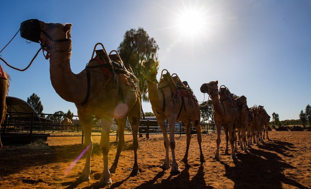 camello australia