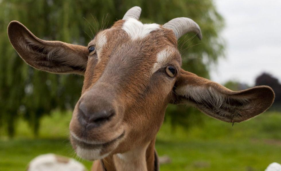 Sin palabras 😱   Nació una cabra con rostro humano