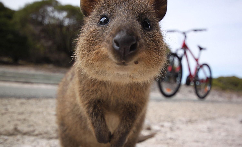 Quokka | El animal más feliz del mundo