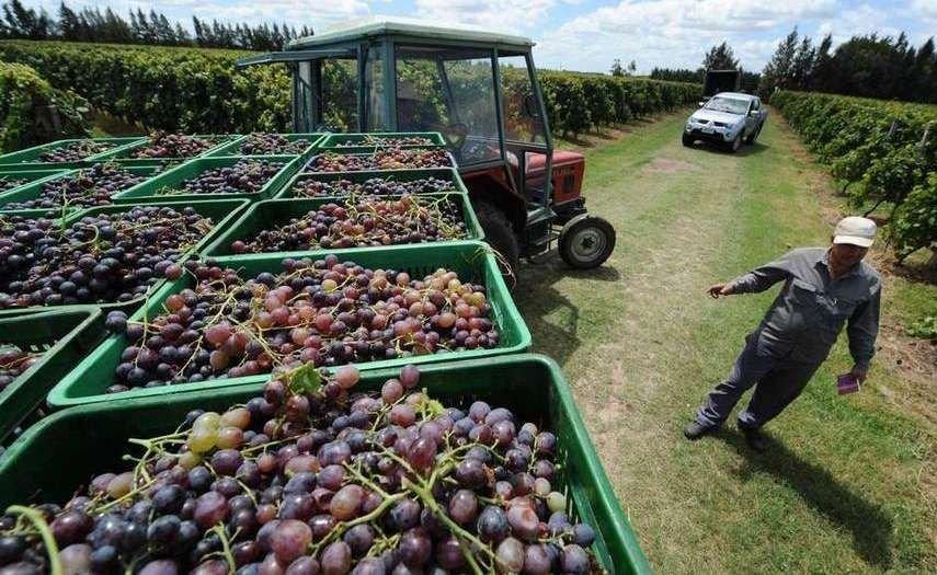 Lobesia botrana: requisitos y obligaciones para los productores vitivinícolas de Mendoza