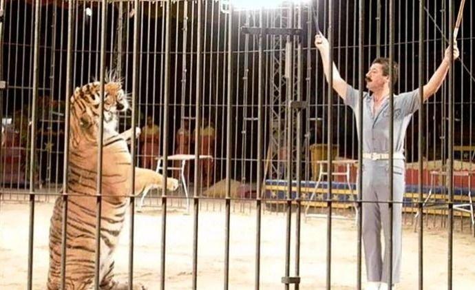 entrenador-video-foto-tigres-italia-circo-cuerpo-muerte-jaula