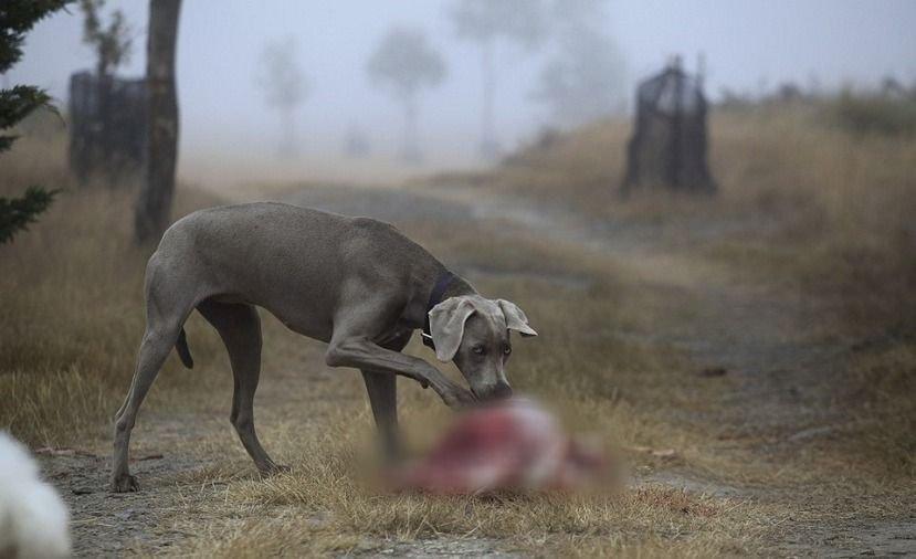 perro comiendo carne