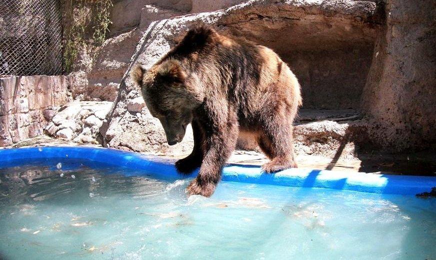 Trasladan a los 10 osos pardos del Ecoparque a un santuario en EE.UU.